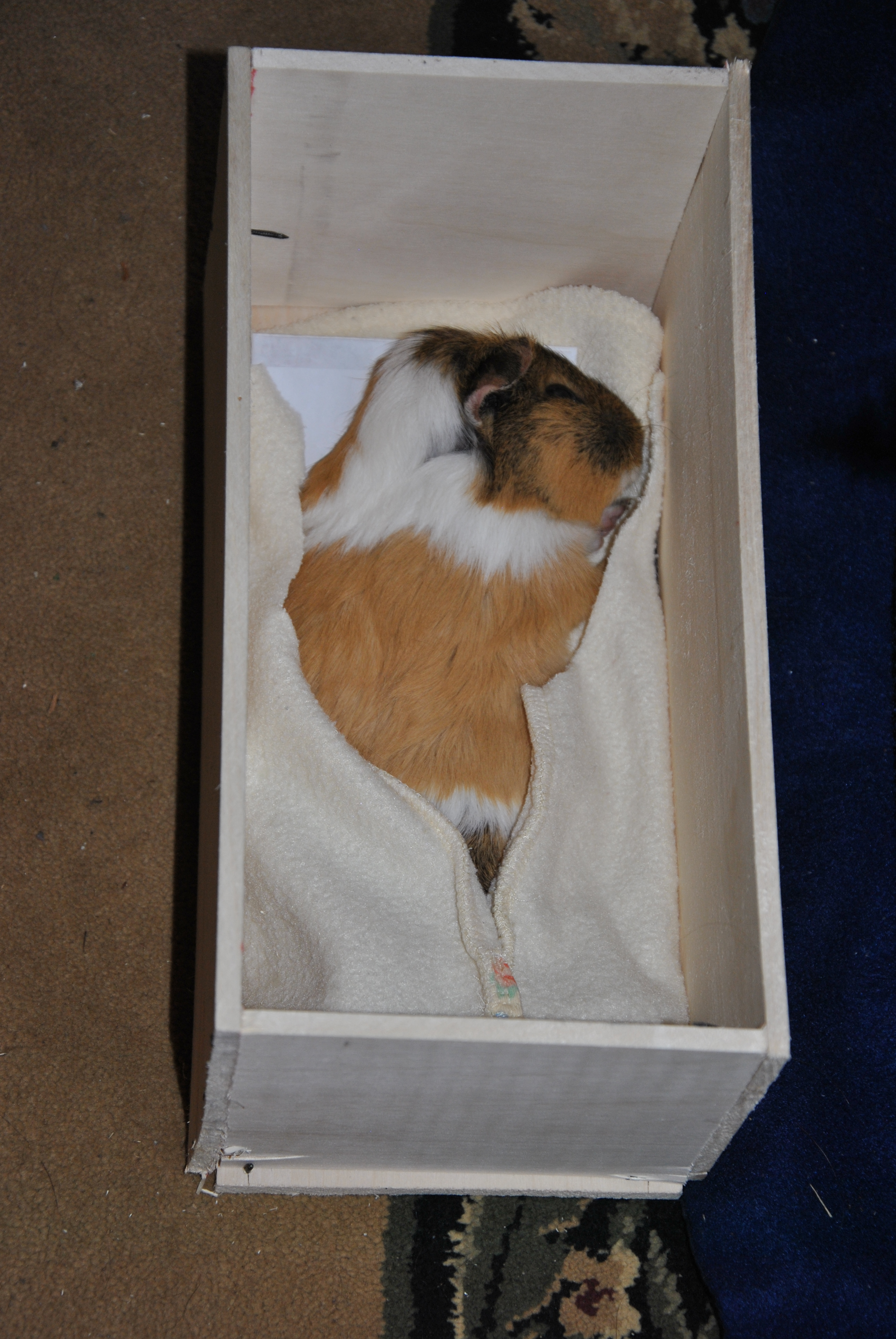 Mary beloved guinea pig the c4 tree for How to build a guinea pig cage out of wood