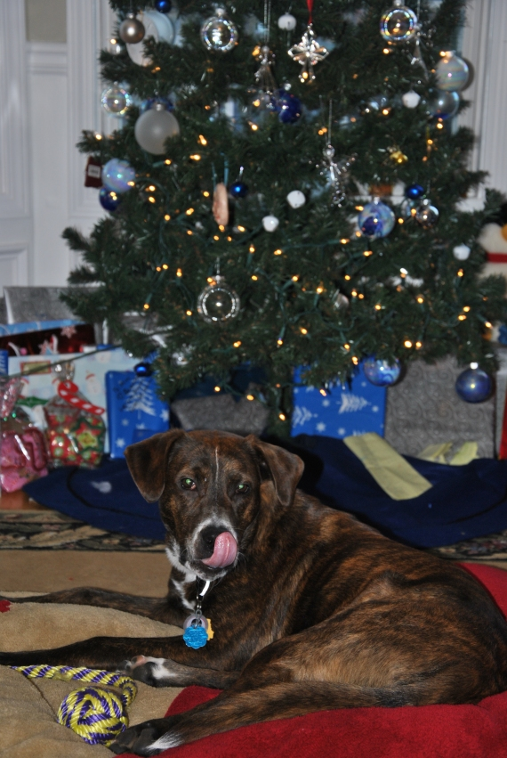 Under the Christmas Tree with his new red bed.  (His blue bed is upstairs in the Master Bedroom.)